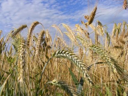 Cumpar Teren Agricol
