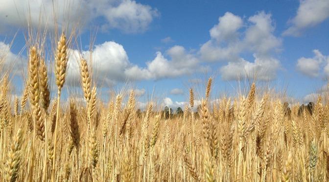 Cumpar Teren Agricol Judetul Olt – Cumpar Ferma Agricola Judetul Olt