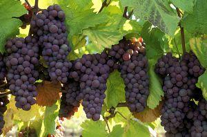 cumparam ferme viticole