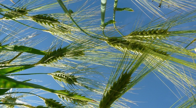 Cumpar Ferma Agricola Judetul Arad  – Cumpar Teren Agricol Judetul Arad