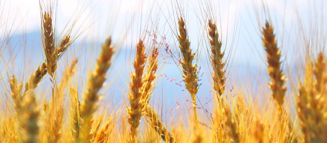 cumpar ferma Calarasi,cumpar teren agricol Calarasi