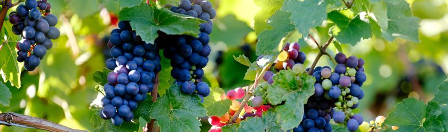 cumparam combinat vini-viticol